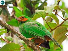https://www.facebook.com/WonderBirdSpecies/ Grass-green tanager (Chlorornis riefferii); Colombia, Ecuador, Bolivia and Peru; IUCN Red List of Threatened Species 3.1 : Least Concern (LC)(Loài ít quan tâm) || Chim Tanager xanh cỏ; Colombia, Ecuador, Bolivia và Peru; HỌ TANAGER - THRAUPIDAE (Tanagers).