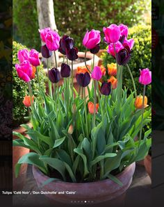 Love this display. Tulipa 'Cairo', 'Don Quichotte' and 'café noir'.