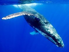 The blue whale (Balaenoptera musculus) is a marine mammal belonging to the suborder Baleen whales (pronounced Mysticeti). At 30 meters (. Underwater Animals, Underwater Sea, Big Animals, Nature Animals, Artic Animals, Strange Animals, Orcas, Hd Desktop, Blue Whale Pictures