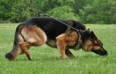 Canine Training: Tracking and Converting Internet Marketing Leads – Watch our video! German Shepherd Training, German Shepherd Dogs, German Shepherds, Basic Dog Training, Training Dogs, Search And Rescue Dogs, Famous Dogs, German Shorthaired Pointer, Mundo Animal