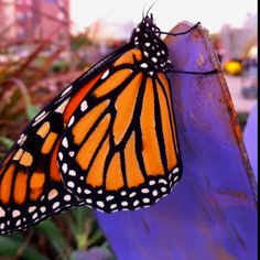 Monarch taken with iPhone.