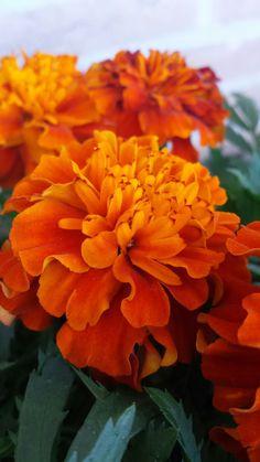 Flowering Trees, Zinnias, Outdoor Plants, Orange Flowers, Marigold, Flower Power, Planting Flowers, Beautiful Flowers, Cactus
