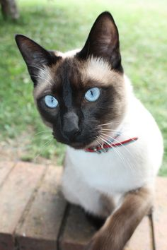 """""""Aslan"""" our old Siamese Cat"""