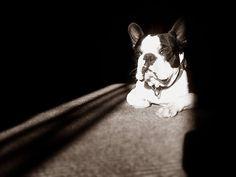Lambert the Boston Terrier