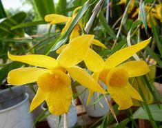 Dendrobium hancockii par Martine