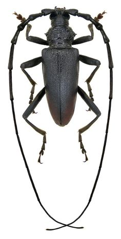 Weird Insects, Bugs And Insects, Beetle Insect, Beetle Bug, Happy Animals, Animals And Pets, Creepy Animals, Longhorn Beetle, Pictures Of Insects