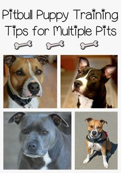 Follow these Pitbull puppy training tips to train more than one Pitbull. Pitbull puppy training tips for multiple dogs essentially the same as for one dog.