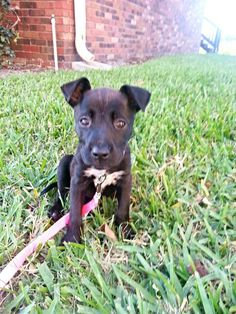 german shepherd pitbull boxer mix puppy omg i want