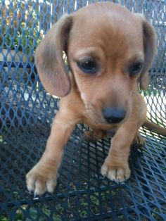 Chiweenie. I want one!!