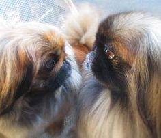 He also loves his peke! Cute Puppies, Cute Dogs, Dogs And Puppies, Animals And Pets, Baby Animals, Cute Animals, Fu Dog, Dog Cat, Pekingese Puppies
