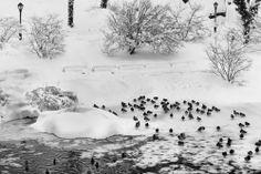 Ducks - Central Park Blizzard of 2011 New York Photography, Photography For Sale, Photo Store, New York Photos, Nyc Photographers, Central Park, Black And White Photography, Ducks, New York City