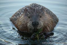 Beaver Dinner Time