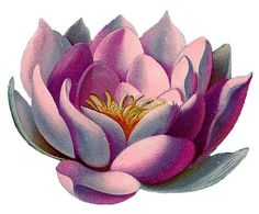 Vintage Graphic - Amazingly Beautiful Pink Water Lily - Lotus - The Graphics Fairy