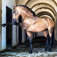 buckskin stallion gold