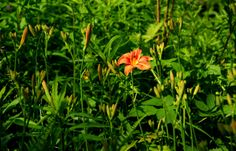 Ätsch - erster. ... Sagte diese Taglilie neulich im Garten. Und die anderen 148 hatten das Nachsehen. Hat auch irgendwie was beruhigendes. Und kühlendes, oder ?  http://de.wikipedia.org/wiki/Taglilien