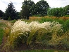Plante on Plants: Stipa ichu -- the other hair grass