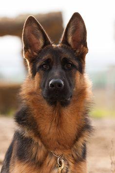 German Shepherd   by Bosanski kinološki savez