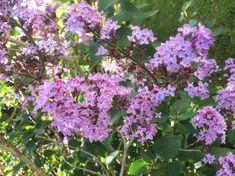 Fliederblüten lila Plants, Lilac, Lilac Bushes, Florals, Plant, Planting, Planets