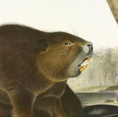 John James Audubon's Birds of America and Viviparous Quadrupeds: Castor Fiber Americanus, Linn. American Beaver. (v. 1, no. 10, plate 46); The viviparous quadrupeds of North America / by John James Audubon, F.R.S. &c. &c. and the Revd. John Bachman, D.D. &c. &c.
