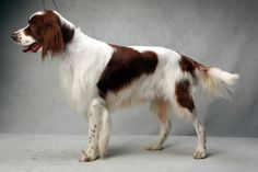 Sean the Setter (Irish Red and White - sporting). Sean, registered as Mizen Duchas Dilis JH, is owned by Judy Baumgartner. (Fred R. Conrad, a New York Times photographer, set up a studio at the 2013 Westminster Kennel Club dog show and  invited Best of Breed winners to pose.) Delaneys Daddy