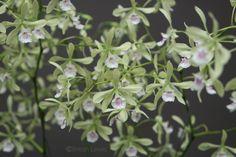 Encyclia profusa (Columbia)