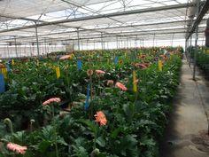 La Región de Murcia lidera la producción vegetal de clavel con más de 50 millones de unidades