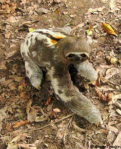 Brown-chinned Three-toed Sloth, (Bradypus tridactylus marmoratus) Luiaard. Perezozo o Pereza, Fauna Venezolana.