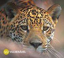 Onça Pintada. Panthera onca. Cerrado, Amazônia, Mata Atlântica e Pantanal. Instituto Chico Mendes de Conservação da Biodiversidade - Destaque - Onça Pintada