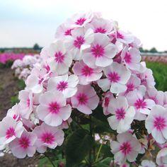 Pflanzen-Kölle Flammenblume weiß-pink, 11 cm Topf.  Die Flammenblume 'Adessa® Pink Star' garantiert langanhaltenden Blütenreichtum in strahlendem Weiß mit pinkem Auge für Beete und Rabatten.