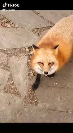Fox Pictures, Cute Animal Pictures, Cute Little Animals, Cute Funny Animals, Fuchs Baby, Pet Fox, Cute Animal Videos, Animal Memes, Animals Beautiful