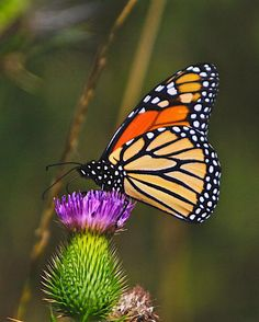 Butterfly & Thistle