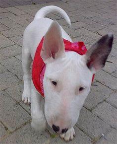 Bull Terrier Puppy - Bullterrier