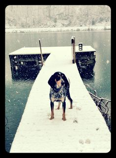Bluetick Hound-This photo is perfect. English Coonhound, Bluetick Coonhound, Hound Dog, Basset Hound, Blue Tick Beagle, Ticks On Dogs, Animal Crackers, Hunting Dogs, Aspen