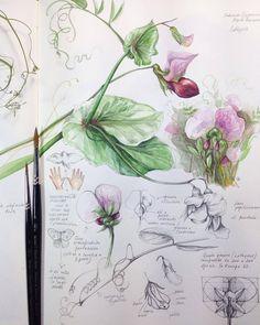 Illustration Botanique, Plant Illustration, Botanical Drawings, Botanical Prints, Watercolor Flowers, Watercolor Art, Gravure Photo, Nature Sketch, Nature Journal