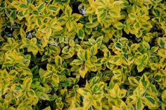 Euonymus fortunei Emerald n Gold Variegated Golden Yellow Evergreen Flora, Golden Yellow, Evergreen, Shrubs, Emerald, Landscape, Landscaping Ideas, Entrance, Plants