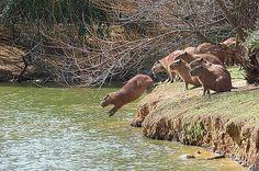 O salto da capivara / Capybara jumping Visit Colombia, Rare Animals, Fauna, World Heritage Sites, Guinea Pigs, Diving, Travel Guide, Capybara, Uruguay