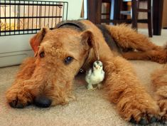 Airedale Terriers and Cochin Bantams