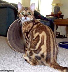 bengal cat | Bengal Cat | All Cute Pictures