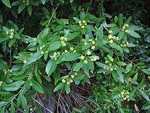 Umbellularia californica - California Bay Laurel / Oregon Myrtlewood