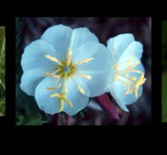 The primrose flower