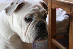 Cane Bull dog  No Dog to Eurostar  Niente cani sul treno Eurostar