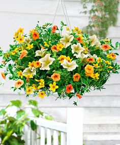 Lemon Sorbet (1 Petunia + 1 Bidens + 1 Calibrachoa).  A Wonderful combination of the spring and summer colours of yellow and orange!!