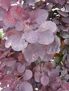 Cotinus coggygria 'Velvet Cloak' / Violetter Perückenstrauch