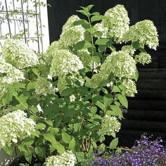Hydrangea Limelight | Hydrangea paniculata | Beautiful Flower Clusters in the Garden and for Arrangements