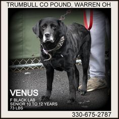 Petfinder  Adoptable | Dog | Black Labrador Retriever | Warren, OH | Venus IN FOSTER TO ADOPT Trumbull County Dog Pound 7501 Anderson Warren, OH 44484 Phone: 330.675.2787