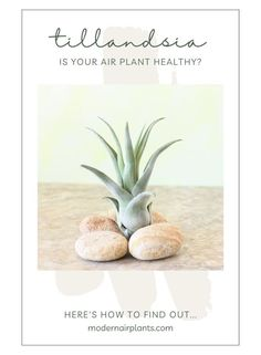 Air Plant Rot: What Causes It and How You Can Fix It Although air plants are pretty low-maintenance creatures that require minimal care, they can quickly begin to rot if you don't take care of them properly. #modernairplants Air Plants Care, Plant Care, Feng Shui Plants, Scale Insects, Natural Insecticide, Plant Diseases, Office Plants, Neem Oil, Garden Spaces
