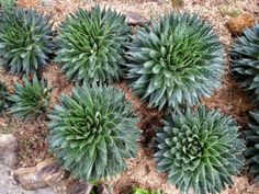 How to Grow and Care for a Lace Aloe (Aloe aristata): Lace Aloes grow well in normal room temperatures and are tolerant of dry air. Flowering Succulents, Growing Succulents, Succulents In Containers, Cacti And Succulents, Planting Succulents, Garden Plants, Indoor Garden, Arizona Gardening, Gardening Tips