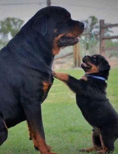 Gallery For German Rottweiler Vs American Rottweiler Puppies Art