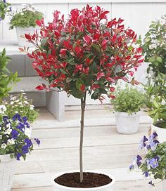 Immergrünes Photinia-Stämmchen 'Little Red Robin®'