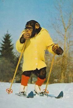 Monkey Chimpanzee PG Tips Style Chimp Skiing Ski Slope Skater Athlete Postcard   eBay